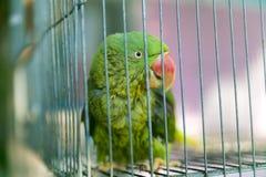 Een groene die papegaai in een staalkooi wordt opgesloten en het staren bij de camera Royalty-vrije Stock Foto's