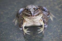 Een groene eetbare die kikker, ook als de Gemeenschappelijke Waterkikker wordt bekend, zit op hout De eetbare kikkers zijn hybrid Stock Foto