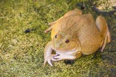 Een groene eetbare die kikker, ook als de Gemeenschappelijke Waterkikker wordt bekend, zit op hout De eetbare kikkers zijn hybrid Royalty-vrije Stock Fotografie