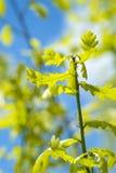 Een groene eiken tak met bladeren Royalty-vrije Stock Afbeelding