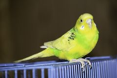 Een groene golvende papegaai zit in een kooi stock afbeelding