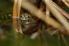 Een groene kikker in de vijver stock foto's