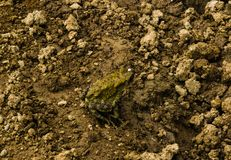 Een groene kikker op een modderige weg royalty-vrije stock afbeelding