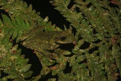 Een groene kikker van de soort Osteoceophalus die goed gecamoufleerd is royalty-vrije stock afbeeldingen