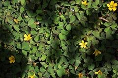 Een groene klaver ter plaatse met een paar gele bloemen royalty-vrije stock foto
