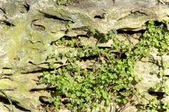 Een groene klimplant op een rots onder de de zomerzon Stock Afbeeldingen