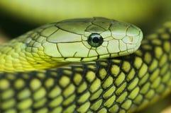 Een groene mamba Stock Afbeeldingen