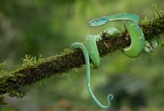 Een groene palm pitviper rolde op een tak Royalty-vrije Stock Foto's