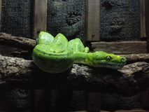 Een Groene Slang in Chiang Mai Zoo Stock Foto