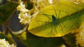 Een groene spin zit op een blad stock videobeelden