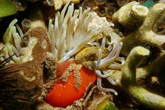 Een groene vastklampende krab onderwater op reuzeanemoon Stock Afbeelding