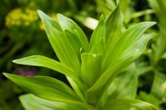 Een groene verse heldere spruit van lelie in het gras op een zonnige dag op een groene achtergrond stock foto