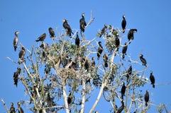 Een groep aalscholvers op boom Royalty-vrije Stock Foto's