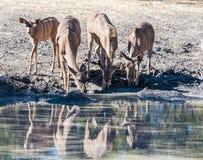 Een groep antilopen het drinken stock afbeelding