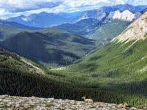 Een groep bergengeiten die en van de mening van de Canadese Rotsachtige Bergen langs de Sleep van de Zwavelhorizon weiden geniete royalty-vrije stock afbeeldingen