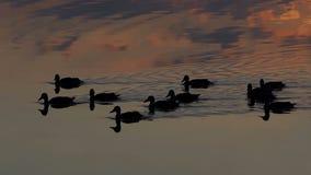 Een groep bruine eenden zwemt in een meer bij zonsondergang in slo-mo stock videobeelden