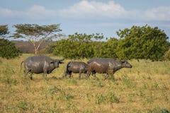 Een groep buffels op hun natuurlijke habitat, Savanne Bekol, Baluran is het aluran Nationale Park een bosbehoudsgebied dat royalty-vrije stock afbeeldingen