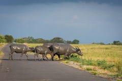 Een groep buffels op hun natuurlijke habitat, Savanne Bekol, Baluran is het aluran Nationale Park een bosbehoudsgebied dat stock afbeeldingen