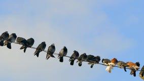 Een groep die duiven op draden zitten stock videobeelden
