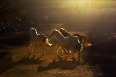 Een groep die mooie paarden op het landbouwbedrijf bij zonsondergang in Cappadocia lopen Royalty-vrije Stock Foto