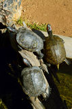 Een Groep die Schildpadden in de Zon zonnebaadt Royalty-vrije Stock Afbeeldingen