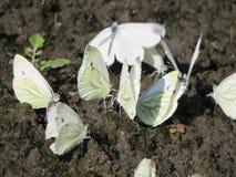 Een groep die witte kleine vlinders op de grond zitten royalty-vrije stock foto's