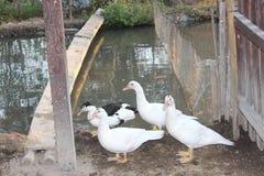 Een groep eenden die voedsel in de middag wil vinden royalty-vrije stock afbeeldingen