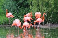 Een groep flamingo's royalty-vrije stock afbeelding