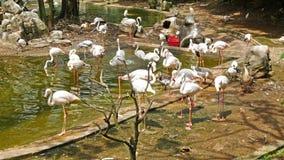 Een groep flamingo's stock video