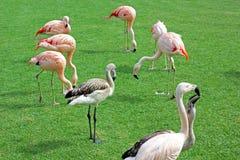 Een groep flamingo's op een gazon stock afbeeldingen