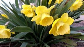 Een groep gele gele narcissen in de de lentetuin stock foto