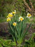 Een groep gele narcissen op een zonnige dag in de lente stock afbeelding