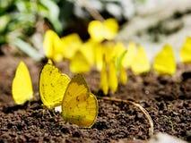 Een Groep Gele Vlinders Stock Afbeeldingen