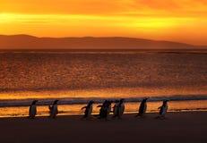 Een groep gentoopinguïnen op een zandig strand bij zonsondergang stock afbeeldingen