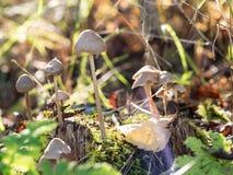 Een groep giftige paddestoelen Royalty-vrije Stock Afbeeldingen
