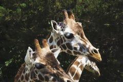 Een groep giraffen in een dierentuin Stock Foto's