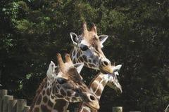 Een groep giraffen in een dierentuin Royalty-vrije Stock Foto's
