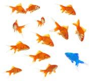 Een groep goudvissen met een binnen vreemdeling Stock Foto