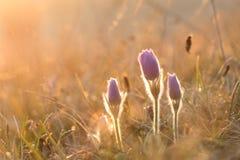 Een groep Grotere grandis van Pulsatilla van de pasquebloem bij zonsopgang Stock Afbeelding