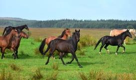 Een groep het lopen paarden in Ierland stock afbeeldingen
