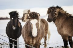 Een groep Ijslandse paarden achter een prikkeldraadomheining in Sn royalty-vrije stock afbeeldingen