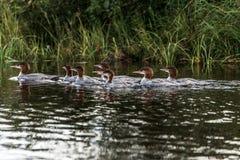 Een groep jonge Gemeenschappelijke Duikerkuikens die op het meer van twee rivieren in algonquin nationaal park Ontario, Canada zw royalty-vrije stock afbeeldingen