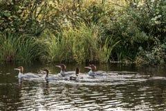 Een groep jonge Gemeenschappelijke Duikerkuikens die op het meer van twee rivieren in algonquin nationaal park Ontario, Canada zw royalty-vrije stock foto