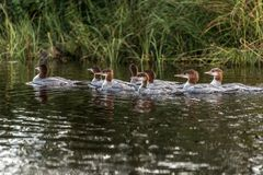 Een groep jonge Gemeenschappelijke Duikerkuikens die op het meer van twee rivieren in algonquin nationaal park Ontario, Canada zw stock afbeeldingen