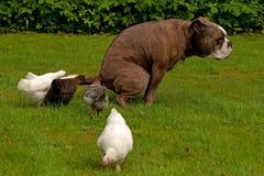 Een groep jonge kippen kijkt nieuwsgierig over de hond` s behoeften Stock Afbeelding