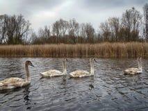 Een groep jonge zwanen die vreedzaam in het water zwemmen stock foto's