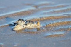 Een groep kluizenaarkrabben die op het moerasland bij het overzeese strand kruipen stock afbeeldingen