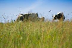 Een groep koeien bevindt zich op een groene weide Stock Afbeeldingen