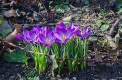 Een groep Krokusbloemen Stock Afbeelding