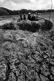 Een groep landbouwers oogst ricefields Royalty-vrije Stock Afbeeldingen